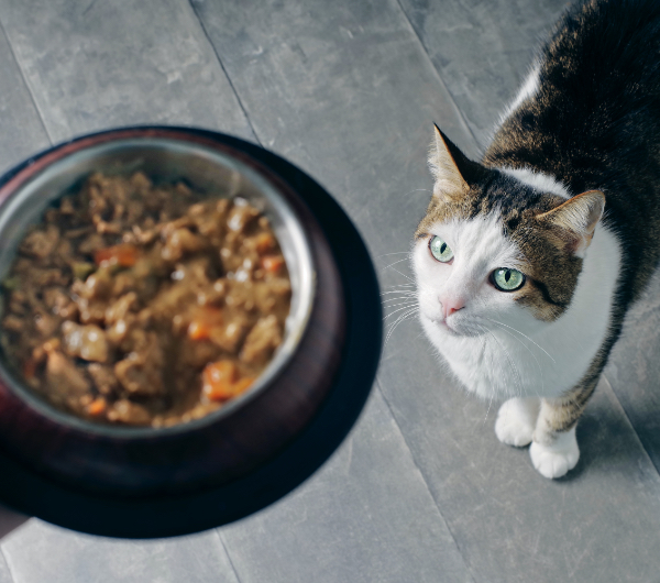 brown and white cat staring up at bowl of food