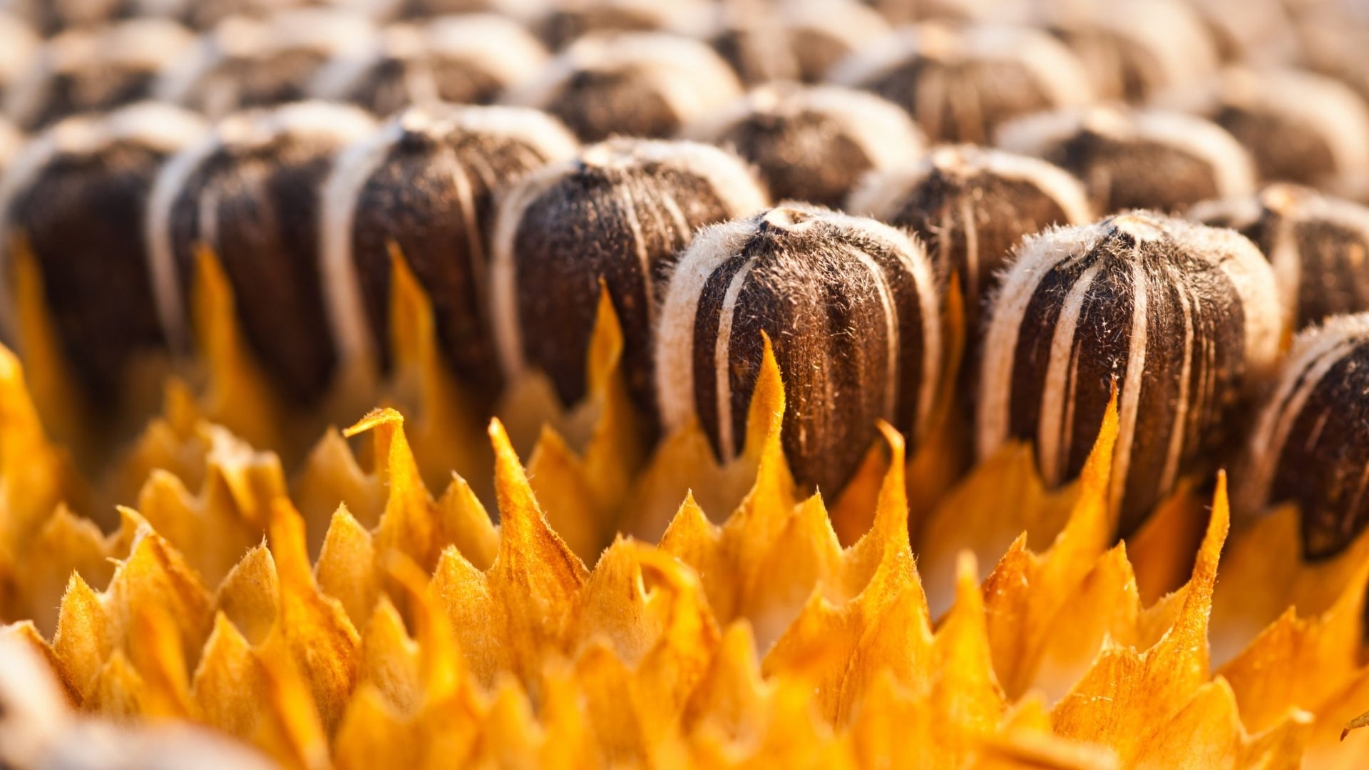 Deoiled Sunflower Lecithin